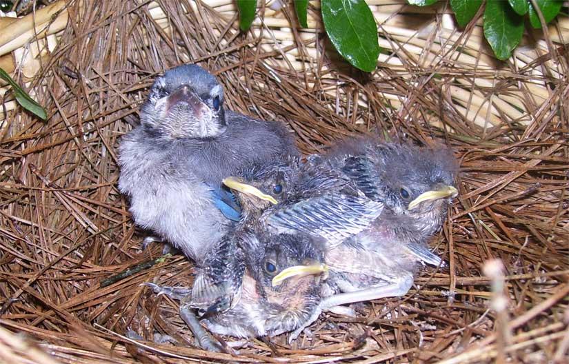 Diverse Family: Bratt Mockingbird Is Raising Baby Blue Jay ...