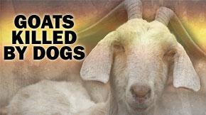 goats2.jpg