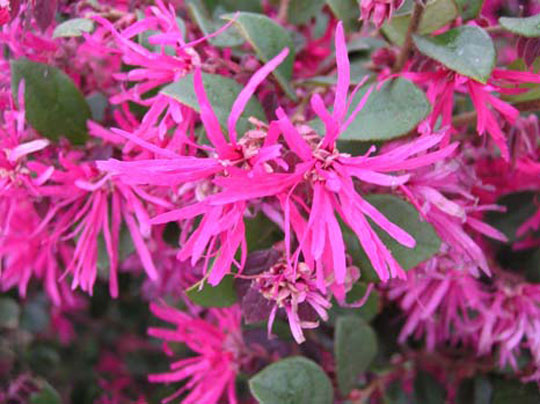 Looking To Landscape Try Chinese Purple Leaves And Pink Flowers