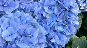 Weekend Gardening: Distinctly Southern Hydrangeas