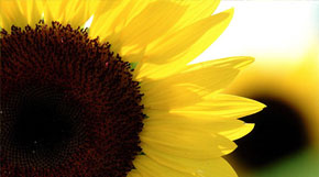 Sunny Days: Growing Sunflowers