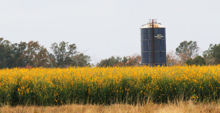 Whats that mystery molino crop with the yellow flowers we received a lot of emails over the past few weeks asking about the unique yellow flowering crop planted at highway 29 and highway 97 behind the tom thumb mightylinksfo Choice Image
