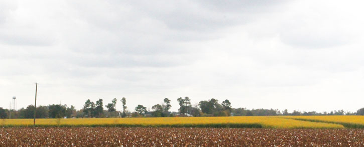 Whats that mystery molino crop with the yellow flowers comments mightylinksfo