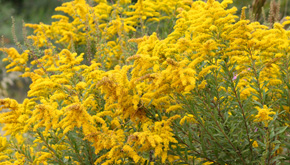 Suffering From Allergies? Don't Blame The Goldenrods