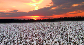 Cotton Transition Assistance Program Enrollment Underway