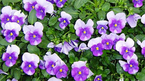 Weekend Gardening: Colorful Bedding Plants Can Brighten A Winter Day