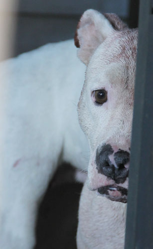 Woman Mauled In Pit Bull Attack : NorthEscambia com