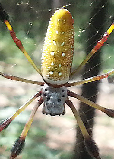 Banana Spiders Make Big Local Comeback Northescambia Com