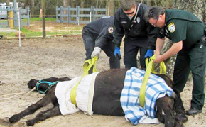 Volunteers, Officials Team Up To Save Rescued Horse
