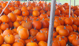 It's a Tradition: Pumpkins, Pumpkins Everywhere (And A Fall Festival Too)