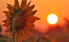 Fall Begins: North Escambia Sunflower Photos