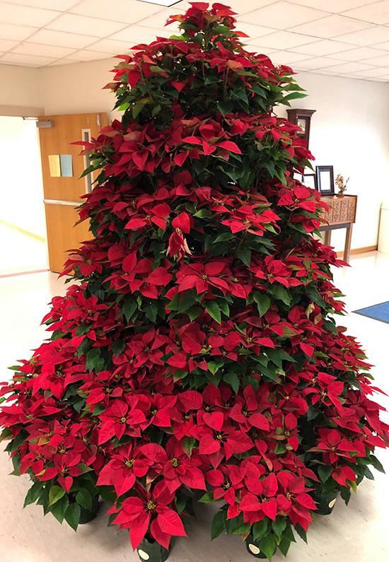 Pointsetta Christmas Tree.Northview Beta Club Creates Living Poinsettia Christmas Tree