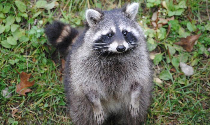 rabid racoon found in escambia county northescambia com